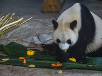 Staff members make dumpling-shaped food for giant pandas in Haikou