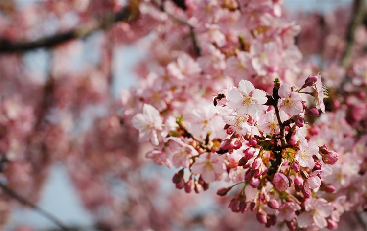 In pics: cherry blossoms at Chenshan Botanical Garden in Shanghai