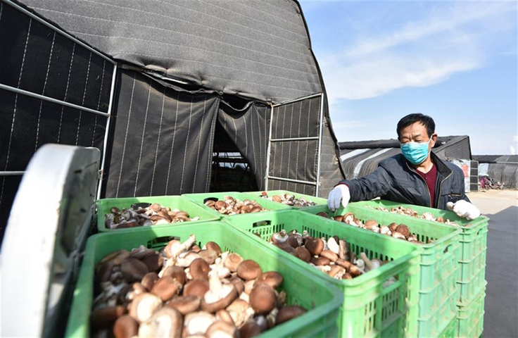 Poverty alleviation agricultural bases resume production amid strict epidemic prevention measures in N China's Hebei