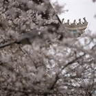 Wuhan university organizes ten-day live broadcast to show cherry blossoms in campus