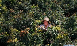Harvest season for litchi comes in Haikou, Hainan