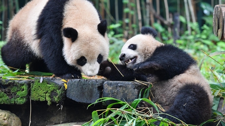 In pics: giant pandas at Chimelong Safari Park in Guangzhou
