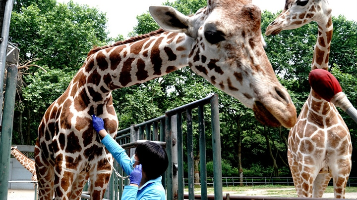 Veterinarians conduct regular physical examination for animals in Shanghai Zoo