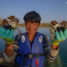 Pic story: skillful crab catcher in NW China's Xinjiang