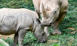 Proposal to resume rhino trade rejected, more species to be protected
