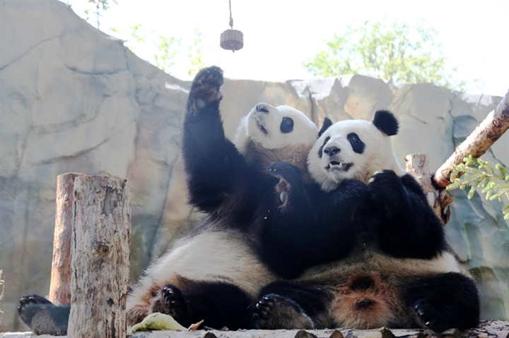 Ten pandas settle down in east China city