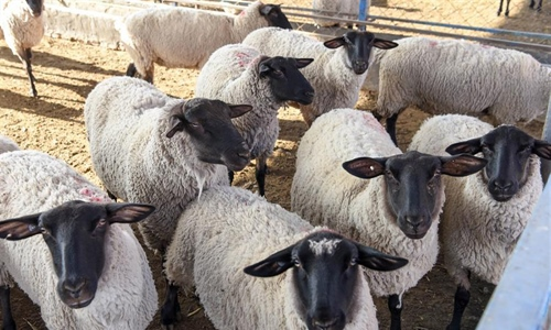 Sheep breeding business increases villagers' income in Xinjiang