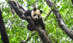 Young giant pandas being trained for release into wild