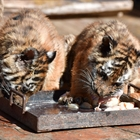 Twin cubs born in major South China tiger zoo