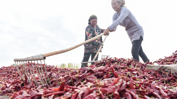 Chili peppers harvested in NW China's Xinjiang