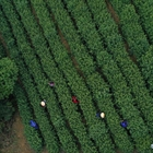 Traditional tea processing in Hangzhou