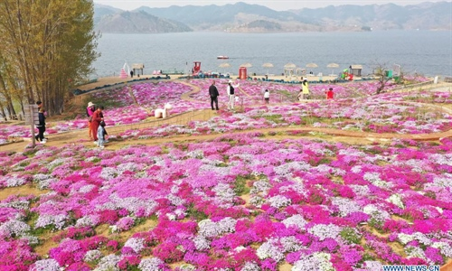 Moss pink flowers in full bloom in Hebei