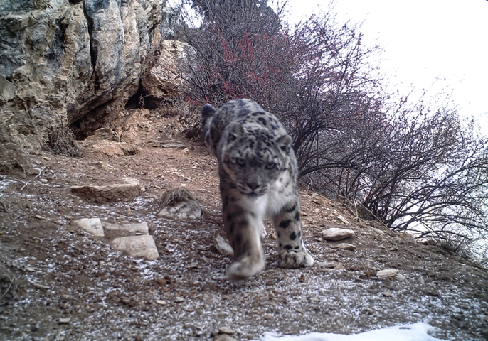 New images released of snow leopard in park