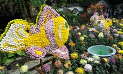 20,000 pots of chrysanthemums attract tourists