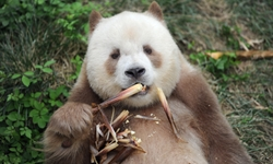 Pandas International adopts world's only captive brown giant panda