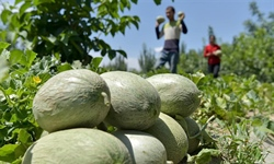 Farmers harvest honeydew melons in Bachu County of NW China's Xinjiang