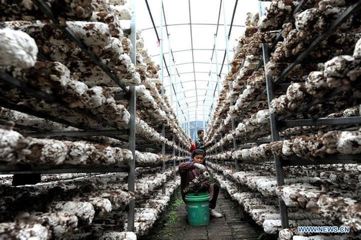 Mushroom planting in China's Guangxi develops local economy, offers jobs for villagers