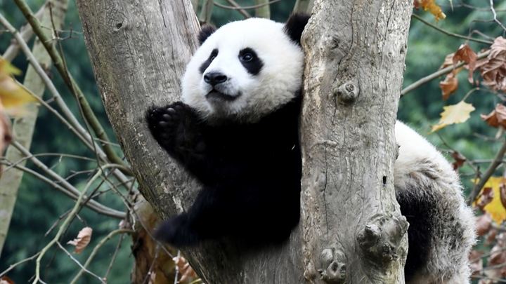 More provinces in China to release giant pandas into the wild